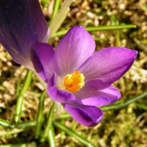 Krokus Bluete schmal lila Crocus 06