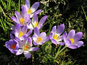 Krokus Bluete schmal lila Crocus 07
