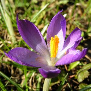 Krokus Bluete schmal lila Crocus 08
