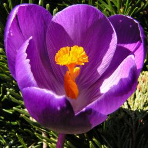 Bild: Krokus Bluete voll lila Crocus