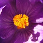 Krokus Bluete voll lila Crocus 08