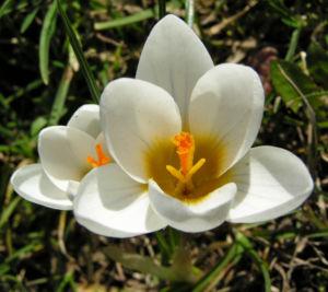 Bild: Krokus Blüte weiß   Crocus