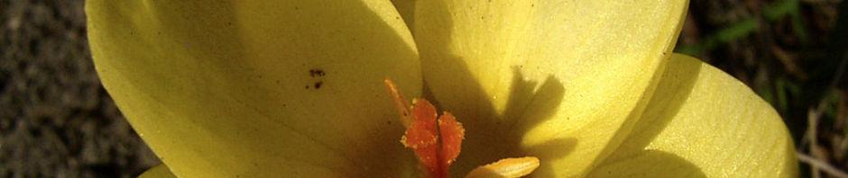 Anklicken um das ganze Bild zu sehen Krokus hellgelbe Blüte Crocus