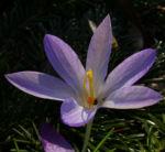 Krokus zart lila Crocus spec 02
