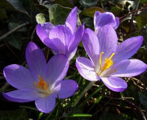 Krokus zart lila Crocus spec 03