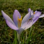 Krokus zart lila Crocus spec 04