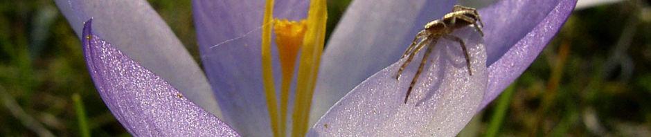 Anklicken um das ganze Bild zu sehen Pracht-Herbst-Krokus Blüte zart lila Crocus speciosus