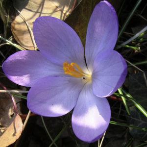 Krokus zart lila Crocus spec 08