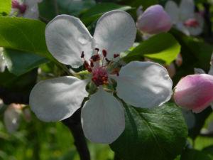 Kronen Apfel Baum Bluete weiss pink Malus coronaria 01