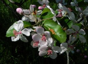 Kronen Apfel Baum Bluete weiss pink Malus coronaria 02