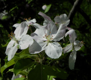 Kronen Apfel Baum Bluete weiss pink Malus coronaria 03