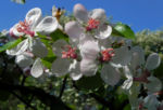 Kronen Apfel Baum Bluete weiss pink Malus coronaria 04