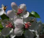 Kronen Apfel Baum Bluete weiss pink Malus coronaria 05