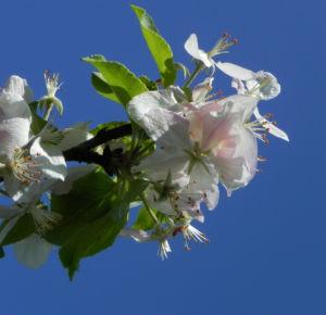 Bild: Kronen Apfel Baum Bluete weiss pink Malus coronaria