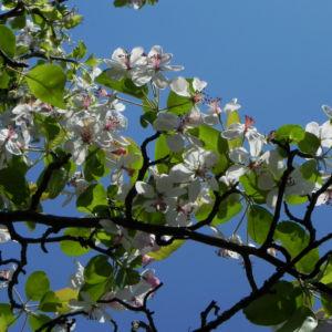 Kronen Apfel Baum Bluete weiss pink Malus coronaria 09