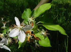 Kronen Apfel Baum Bluete weiss pink Malus coronaria 11