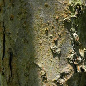 Kronen Apfel Baum Bluete weiss pink Malus coronaria 13