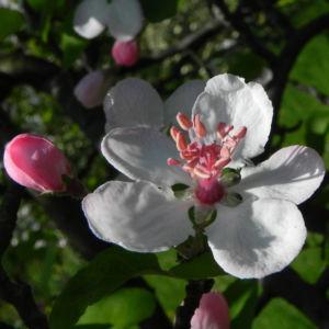 Kronen Apfel Baum Bluete weiss pink Malus coronaria 15