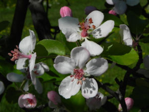 Kronen Apfel Baum Bluete weiss pink Malus coronaria 17