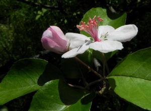 Kronen Apfel Baum Bluete weiss pink Malus coronaria 20