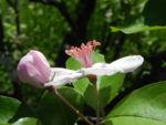 Bild: Kronen-Apfel Baum Blüte weiß pink Malus coronaria