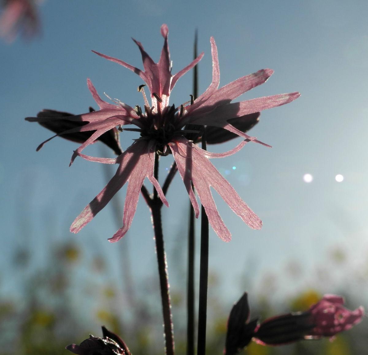 Kuckucks Lichtnelke Bluete rose Lychnis flos cuculi