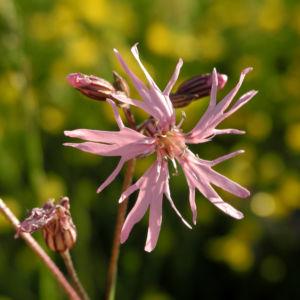 Kuckucks Lichtnelke Bluete rose Lychnis flos cuculi 05