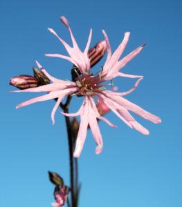 Kuckucks Lichtnelke Bluete rose Lychnis flos cuculi 08