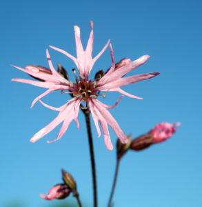 Kuckucks Lichtnelke Bluete rose Lychnis flos cuculi 09