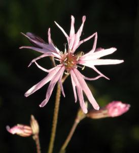 Kuckucks Lichtnelke Bluete rose Lychnis flos cuculi 10