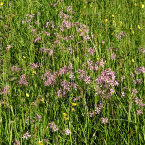Kuckucks Lichtnelke Bluete rose Lychnis flos cuculi 13