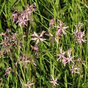 Kuckucks Lichtnelke Bluete rose Lychnis flos cuculi 14