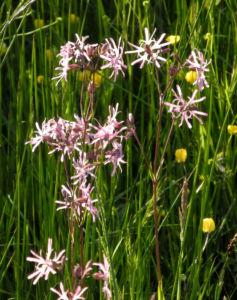 Kuckucks Lichtnelke Bluete rose Lychnis flos cuculi 15