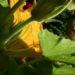 Zurück zum kompletten Bilderset Garten-Kürbis Blüte gelb Cucurbita pepo