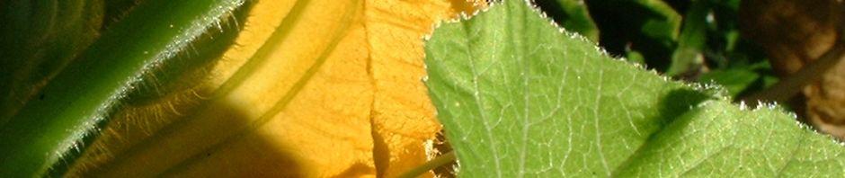 garten-kuerbis-bluete-gelb-cucurbita-pepo