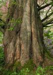 Kuestenmammutbaum Stamm Rinde braun Sequoia sempervirens 19
