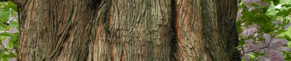 Anklicken um das ganze Bild zu sehen Küstenmammutbaum Nadeln grün Sequoia sempervirens
