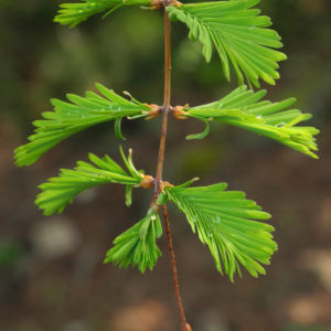 Kuestenmammutbaum Nadeln gruen Sequoia sempervirens 19
