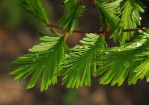 Kuestenmammutbaum Nadeln gruen Sequoia sempervirens 20