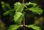 Kuestenmammutbaum Nadeln gruen Sequoia sempervirens 21