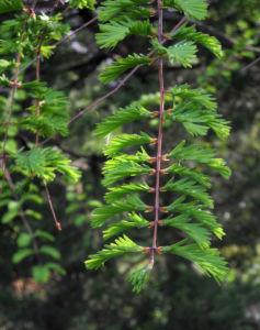 Kuestenmammutbaum Nadeln gruen Sequoia sempervirens 23
