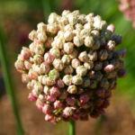 Kugel Lauch Bluete Dolde Allium sphaerocephalum 04