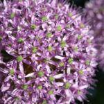 Kugel Lauch Bluete Dolde Allium sphaerocephalum 05