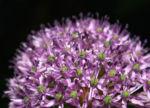Kugel Lauch Bluete Dolde Allium sphaerocephalum 10