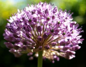 Bild: Kugel Lauch Bluete Dolde Allium sphaerocephalum