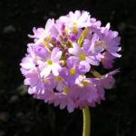 Kugel Primel Blume Bluete lila Primula denticulata 01