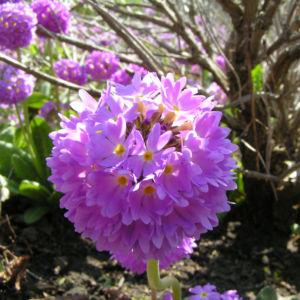 Kugel Primel Blume Bluete lila Primula denticulata 02