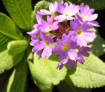 Kugel Primel Blume Bluete lila Primula denticulata 03