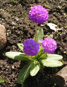 Kugel Primel Blume Bluete lila Primula denticulata 06