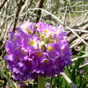 Kugel Primel Blume Bluete lila Primula denticulata 07